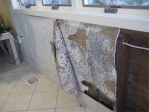 Mold behind wallpaper on a portion of a wall below three windows.
